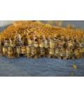 Méhkenyér kinyerő készülék Wilara BBM