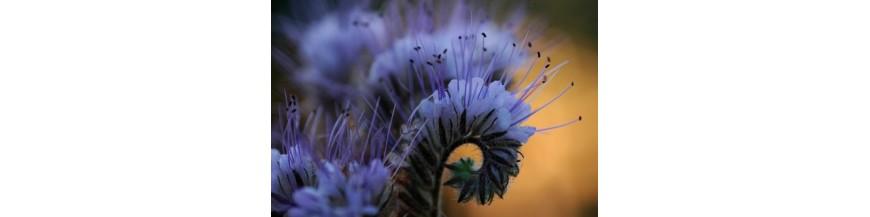 Mézzelő növények